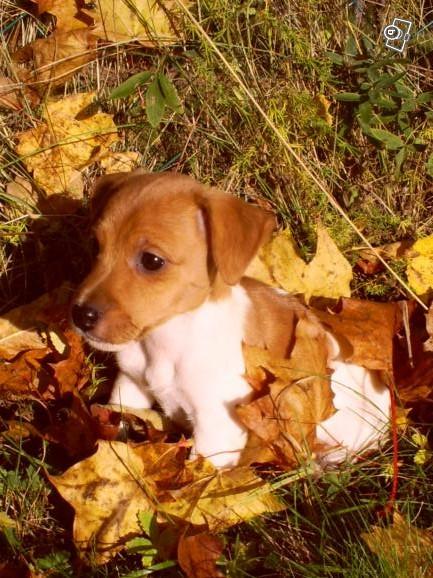 Ziva som pronaxen hund ?